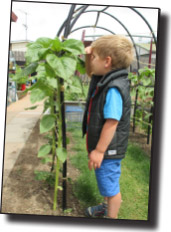 Dalton's sunflowers get taller than the kids!