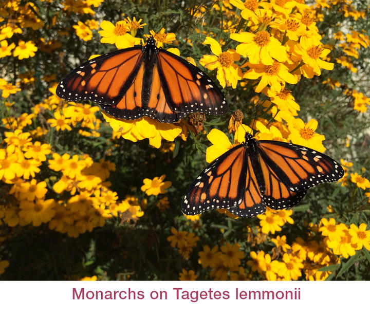 Monarchs on Tagetes lemmonii