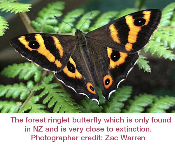 The forest ringlet butterfly which is only found in NZ and is very close to extinction