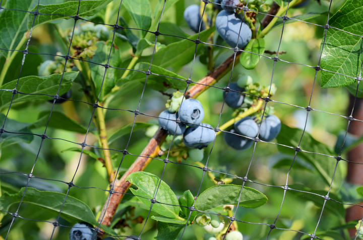 Blueberry under netting iS174967241M.jpg
