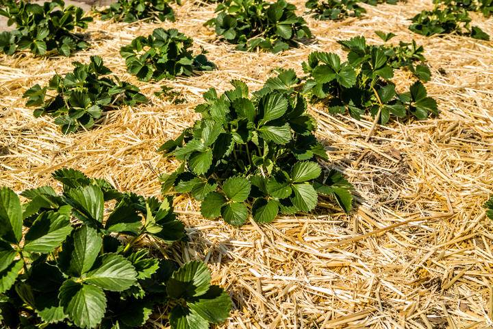 Strawberry plants with mulch iS1145304499M.jpg