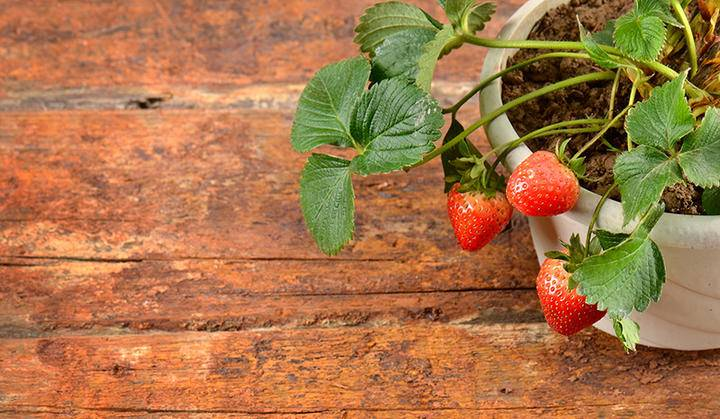 Strawberry pot ss 186920774 sml.jpg