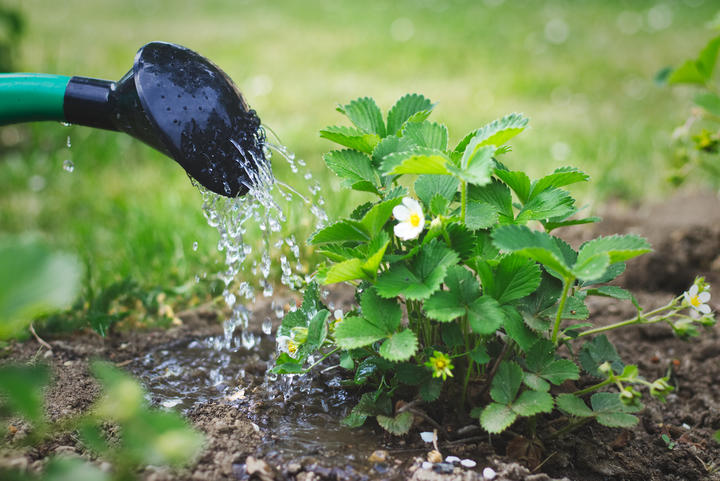 Watering strawberry plantiS959701034M.jpg