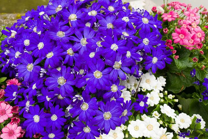 Cineraria Flowers Purple iS856507052L.jpg