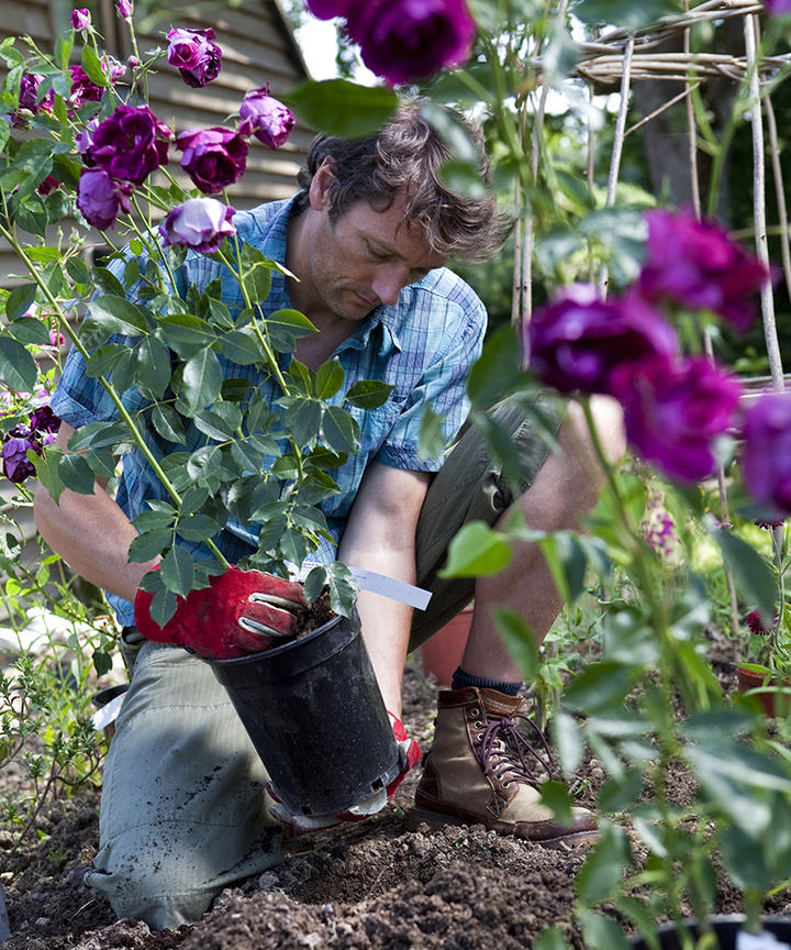 Man planting Purple Rose Bushes in Flower Bed.jpg