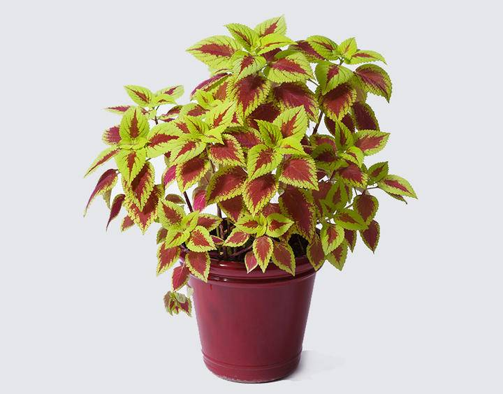 Potted Coleus iS497354350XXL.jpg