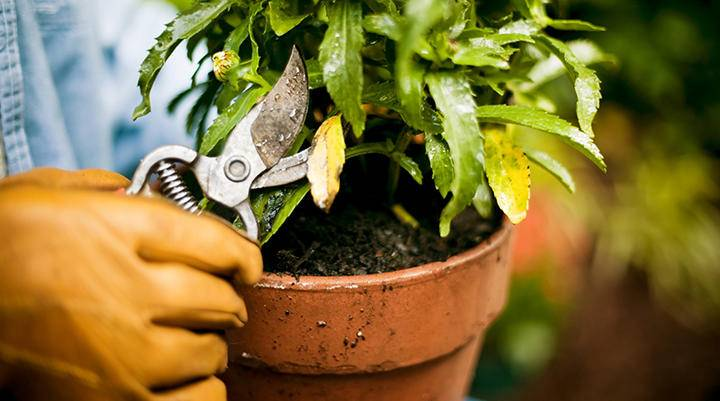 Pruning potted plant iS 108270288 L.jpg