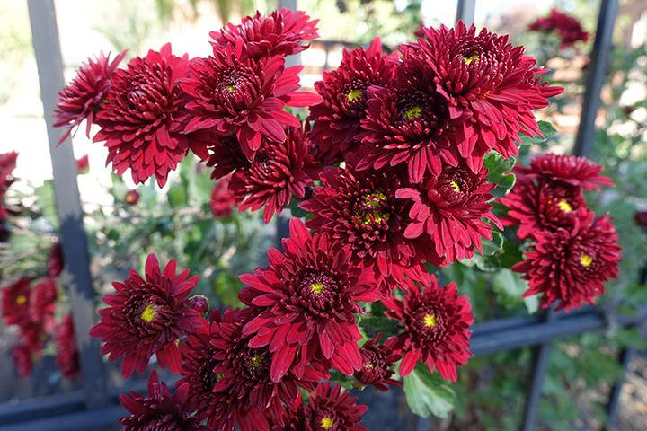 Red flowers of Chrysanthemum iS909110550 XXL.jpg