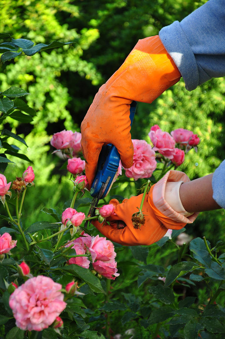 Rose Pruning iS177006155L.jpg