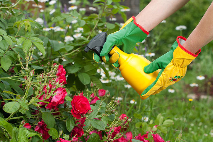 Spraying rose iS149337077XL.jpg