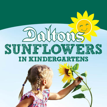 Daltons Sunflowers in Kindys 2017