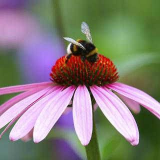Bee on Flower iS3710138L.jpg