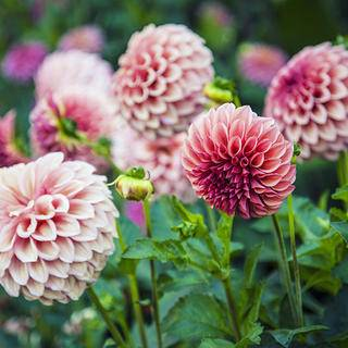 Dahlias iS513204805L.jpg