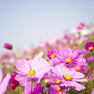 Flower Pink Cosmos iS20181549L.jpg