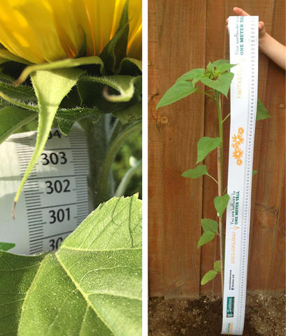 A Sunflower with a Daltons tape measure parallel to it showing its height in cm