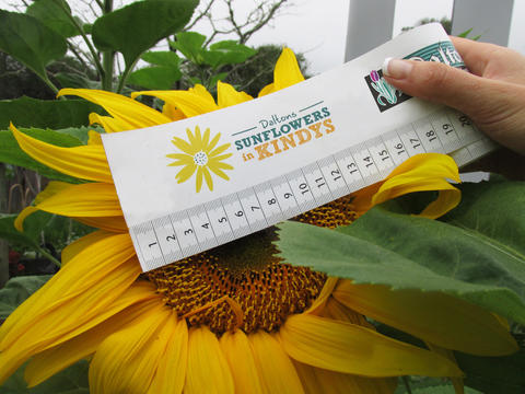 A sunflower head with a Daltons tape measure across it showing the head diameter in cm