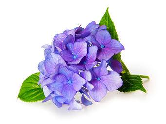 Blue Hydrangea iS487825032XL.jpg
