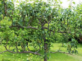 Espalier Apple Tree iS502450307M.jpg