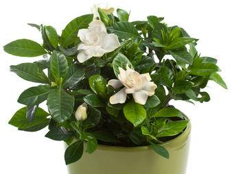 Gardenia in pot iS125798091M.jpg