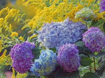 Hydrangeas Blue iS512059570XXL.jpg