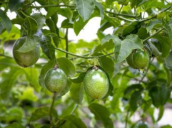 Passionfruit plant iS1135966944M.jpg