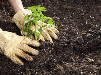 Planting Tomato Seedling iS19833468XL.jpg