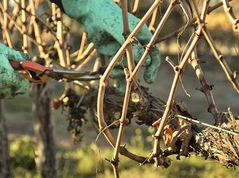 Pruning grape vine iS41496782_XXL.jpg
