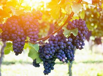 Red grapes on the vine iS523061104XL.jpg