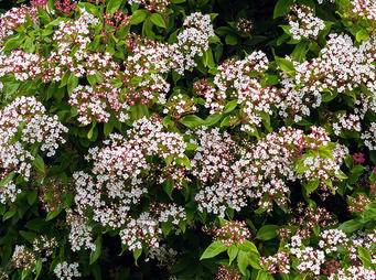 Viburnum iS696810520XL.jpg