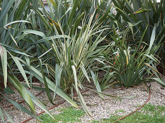 Flax Bush iS1220504435L sml.jpg