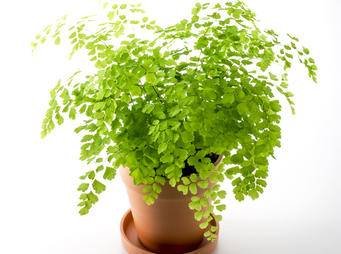 Adiantums (Maidenhair Fern)