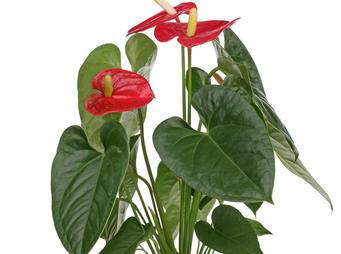 Anthedesia Anthurium