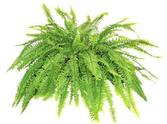 Boston Fern Bostoniensis iS483503253L.jpg