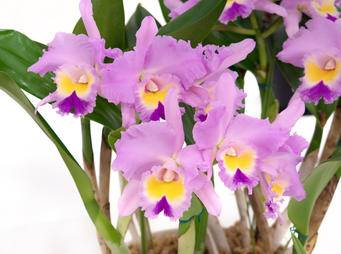 Cattleyas Orchid iS1223530073L.jpg