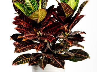 Codiaeum Crotons iS521440401L.jpg
