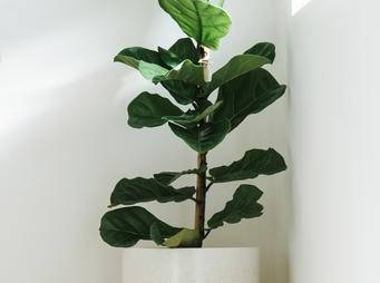 Ficus Lyrate Fiddle Leaf Fig