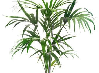 Kentia Palm Tree