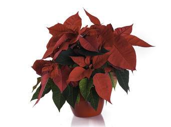 Poinsettia iS527467797L.jpg
