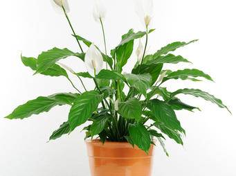 White Orchid Peace Lily iS177320705L.jpg