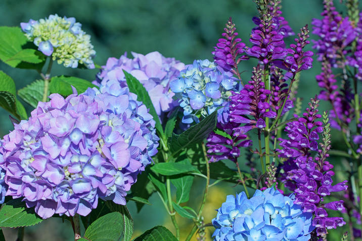 Bloomong annuals hydrangea