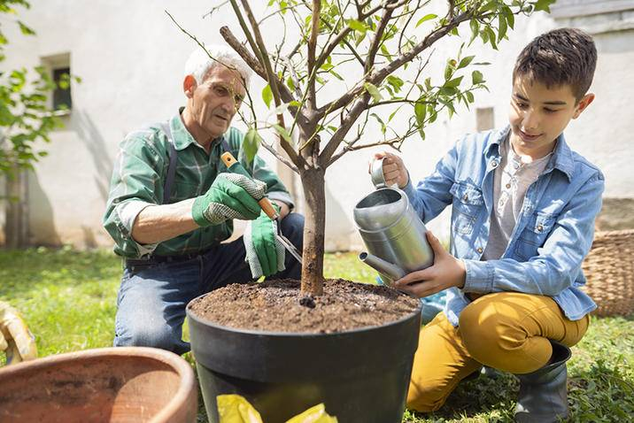 Lemon tree watering iS1163759561M.jpg