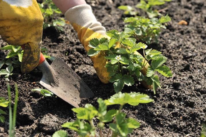 Strawberry planting iS 92025675M.jpg