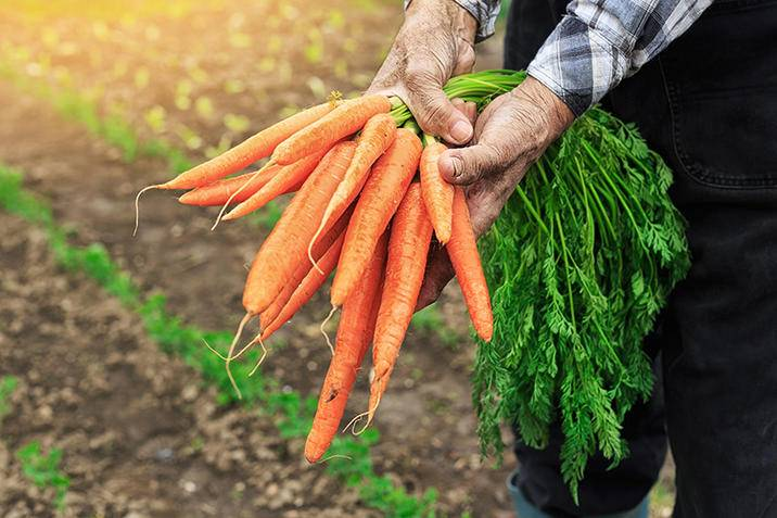 Hands holding carrots iS518382996XXL.jpg