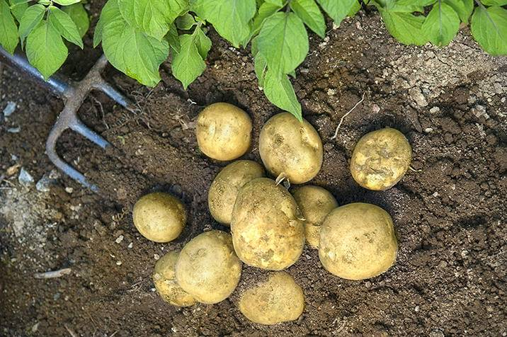 Potatoes iS15279268L.jpg