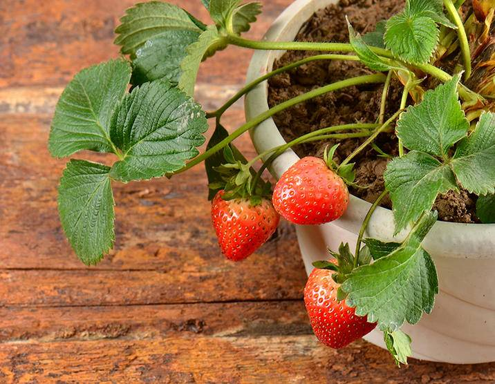 Strawberry pot ss 186920774.jpg